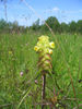 Melampyrum cristatum flower (A.Fleischmann).jpg