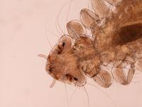 Menopon gallinae Flickr.jpg