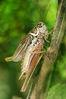 Metrioptera roeseli