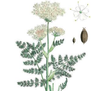 Bärwurz Portraitbild mit oberem Teil der Pflanze, Einzelblüte und Samen z.T. stark vergrößert (aus English Botany 1877)