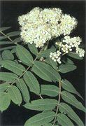 Seite 65 OL Sorbus aucuparia (Bild: O. Angerer)