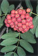 Seite 65 OR Sorbus aucuparia (Bild: O. Angerer)