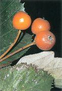 Seite 130 Unten S. latifolia (Bild: O. Angerer)