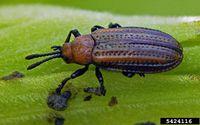 Microrhopala vittata IPM5424116.jpg