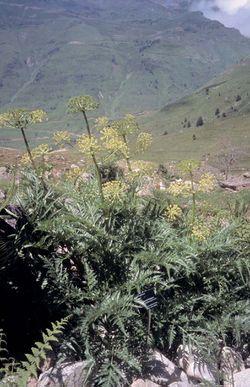 alt=Description de l'image Molopospermum peloponnesiacum.jpg.