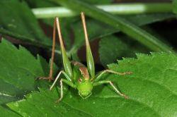 Zweifarbige Beißschrecke: Weibchen - Fritz Geller-Grimm, CC BY-SA 3.0