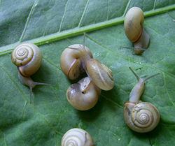 mehrere Karthäuserschnecken - Roman Hural, CC BY-SA 4.0
