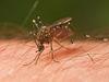 Mosquito Tasmania crop.jpg
