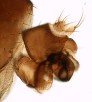 Megaselia oxybelorum, Hypopygium left, image composed of 5 exposures with different focus