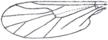 Flügeladern der Gattung Mycetobia (Mycetobiidae): Diskoidalzelle fehlt.