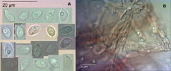 Figure 3. Gymnopus ceraceicola Holotype, PDD 87181. A Spores (KOH) B Agglutinated fascicles of caulocystidia on stipe (KOH).