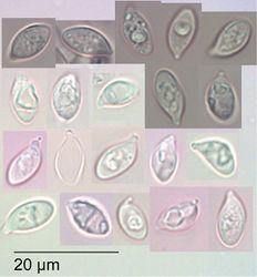 Figure 5. Gymnopus imbricatus Holotype PDD 95489. Spores (in KOH).