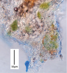 Figure 10. Gymnopus hakaroa PDD 96390. Pockets of algal cells embedded in hyphal tissue of stem base (cotton blue stain).