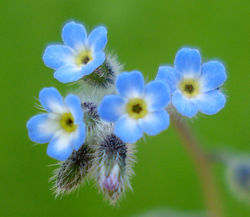 Blüten– Fornax, CC BY-SA 3.0