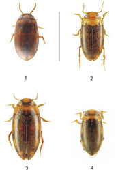 Figures 1–4. Habitus of (1) Neobidessodes darwiniensis, (2) Neobidessodes bilita, (3) Neobidessodes mjobergi and (4) Hydroglyphus godeffroyi (scale bar = 2.0 mm) (Photos: M. Balke, A. Riedel)