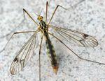 Nephrotoma quadrifaria ♀♀