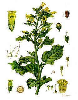 alt=Description de l'image Nicotiana rustica - Köhler–s Medizinal-Pflanzen-226.jpg.
