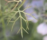 Die Blätter sind zwei- oder dreifachgefiedert. (Bild: W. Wohlers, JKI)