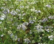 Die blau-weiß-violetten Blüten erheben sich bis zu 40 cm über dem Boden. (Bild: Arno Littmann, JKI)