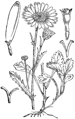 Wiesen-Margerite (Leucanthemum vulgare Lam.)— Abbildung nach Cilenšek (1892, Naše škodljive rastline v podobi in besedi (sl.wikisource.org))