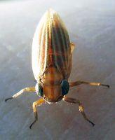 Moorkäferzikade (Ommatidiotus dissimilis)