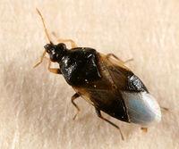 Orius insidiosus BugGuide122808.jpg