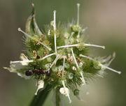 Später sind die Narben auffallend lang und stehen im 90 Gradwinkel zur Blütenachse. (Bild: W. Wohlers, JKI)