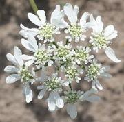 Die Blüten sind sehr attraktiv. (Bild: W. Wohlers, JKI)