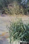 Oryza rufipogon IPM5384159.jpg