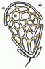 P03 Fruchtkörper Clathrus ruber Roter Gitterling (M. Piepenbring).png