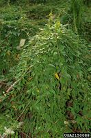 Paederia foetida IPM2150088.jpg