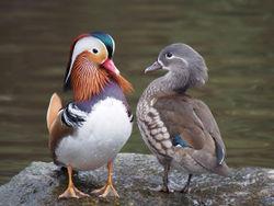 Mandarinentenpaar - Francis C. Franklin / CC-BY-SA-3.0