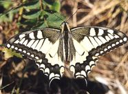 Papilio machaon machaon 2001.08.12 Michael Kurz.jpg