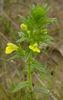 Parentucellia flower (A.Fleischmann).JPG