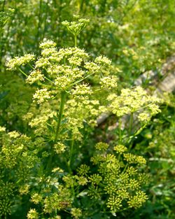 alt=Description de l'image Parsley (1045748016).jpg.