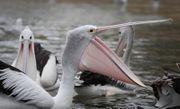 Gemeinsames Merkmal aller Pelikane ist ein großer dehnbarer Kehlsack, der dem Fischfang dient.