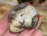 Knoblauchkröte– Pelobates fuscus– Hinterfüße mit Fersenhöcker (→).