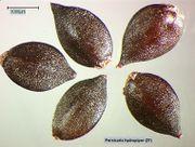Persicaria hydropiper: Reife Nussfrüchte (Foto: Rolf Wißkirchen)