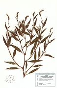 Persicaria lapathifolia (Foto: G. Hagedorn & BGBM-Berlin)