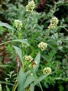 Persicaria lapathifolia subsp. pallida: Pflanze mit kurzen Scheinähren (Foto: Rolf Wißkirchen)