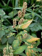 Persicaria lapathifolia (Foto: Rolf Wißkirchen)