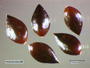Persicaria minor: Reife Nussfrüchte (Foto: Rolf Wißkirchen)