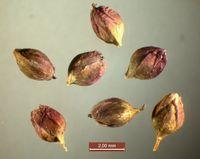Persicaria mitis (Foto: Rolf Wißkirchen)