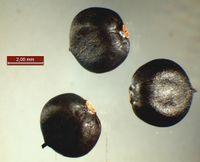 Persicaria orientalis: Reife Nussfrüchte (Foto: Rolf Wißkirchen)