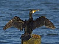 link=Kormoran ( Phalacrocorax carbo)