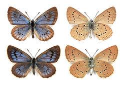 männliches (oben) und weibliches (unten): Sammlungsexemplare von Aca Đurđević - Miloš Popović, CC BY-SA 3.0