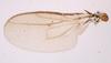 P. heteroneura, Flügel