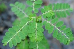 alt=Description de l'image Phyllanthus urinaria 03.JPG.