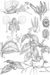 Figure 1. Polyspatha oligospatha Faden, sp. nov. 1. Habit. 2. Spathe with open flower, side view. 3. Flower, front view. 4. Flower, side view. 5. Stamen and staminode filaments, showing basal fusion. 6. Dehisced capsule. 7. Seed, dorsal view. 8. Seed, ventral. All from Poulsen 1275 (originally from Uganda; cultivated at the Smithsonian Institution). Illustration by A. R. Tangerini.