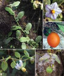 Figure 2. Solanum baretiae Tepe. A Habit B Flower showing reflexed corolla and bud C Flower with flat corolla D Mature fruit E Immature fruit; note mottling, which is absent in the mature fruit. [A–B Tepe and McCarthy 3346; C Tepe et al. 2885; D Bohs et al. 3735; E Tepe et al. 2888].